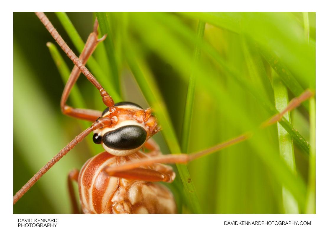 Ophioninae sp. Ichneumon wasp
