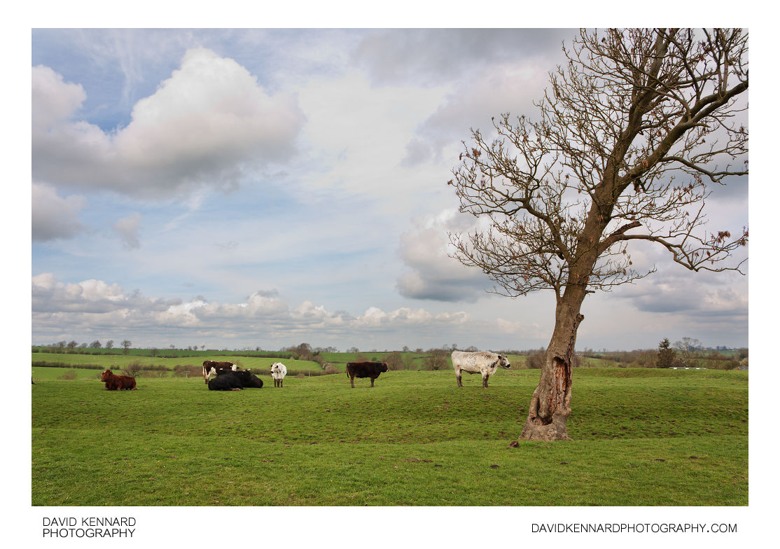 Cattle in field, Clipston