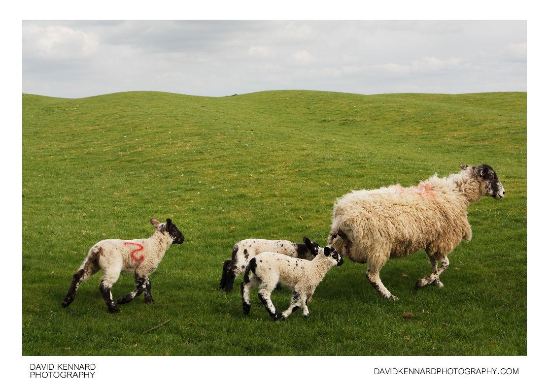 Running Ewe and Lambs