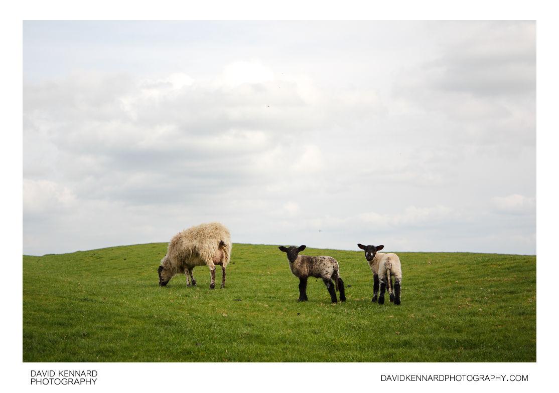 Ewe and lambs, Clipston
