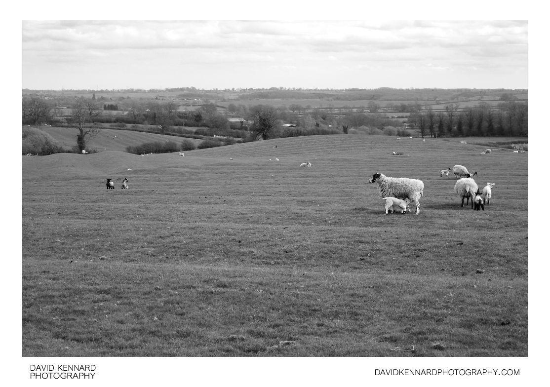 Sheep and lambs in ridge and furrow field, Clipston