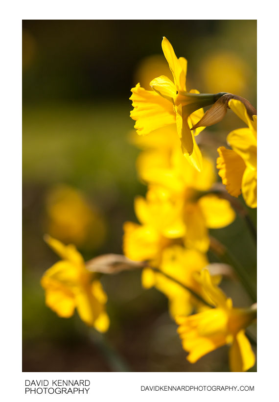 Daffodil (Narcissus) flowers