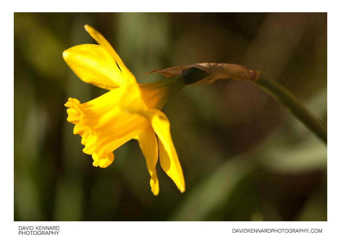 Daffodil (Narcissus) flower