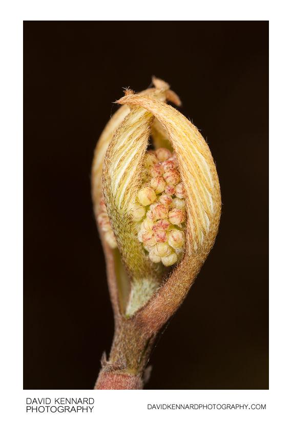 Cornus alba 'Elegantissima' leaf and flower bud