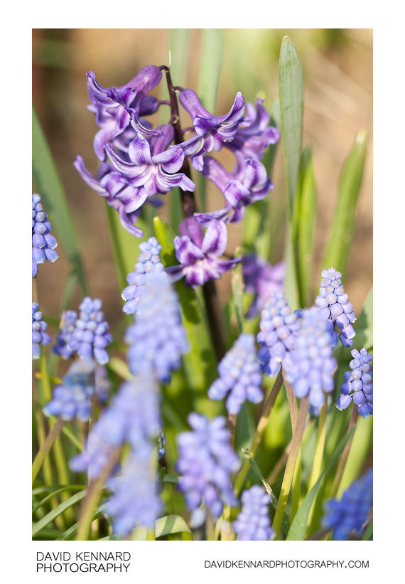 Common Hyacinth (Hyacinthus orientalis) and Grape Hyacinth (Muscari sp.)