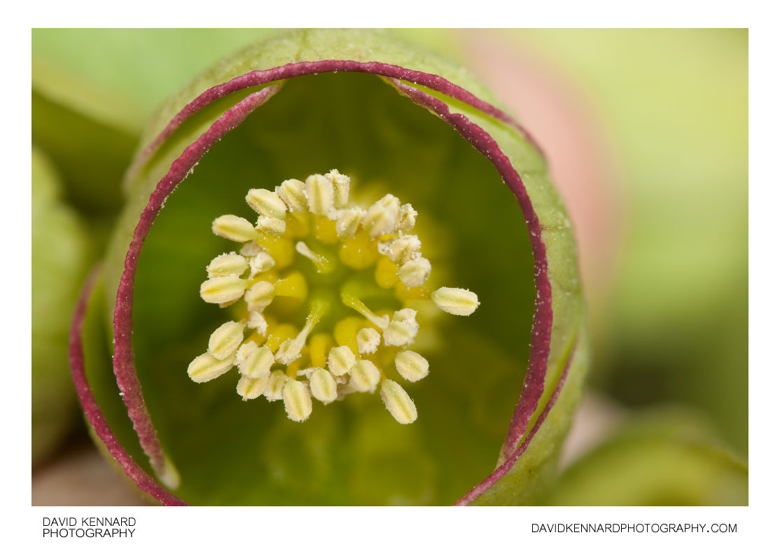 Helleborus foetidus flower
