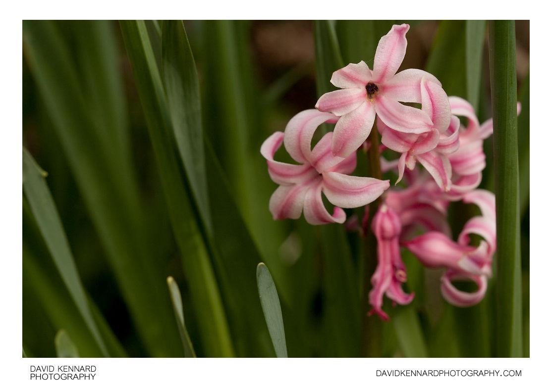 Pink Common Hyacinth (Hyacinthus orientalis)
