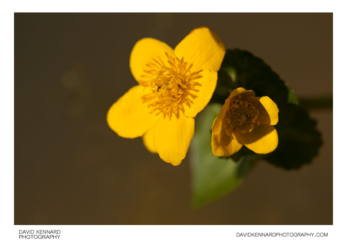 Kingcup (Caltha palustris) flowers