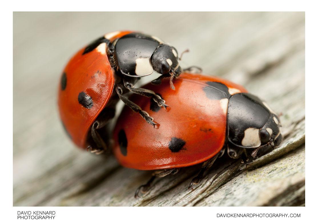 Seven-spotted ladybird (Coccinella septempunctata)