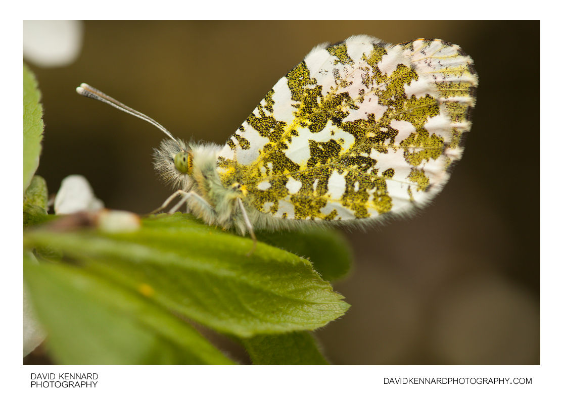 Male Orange Tip Butterfly (Anthocharis cardamines)