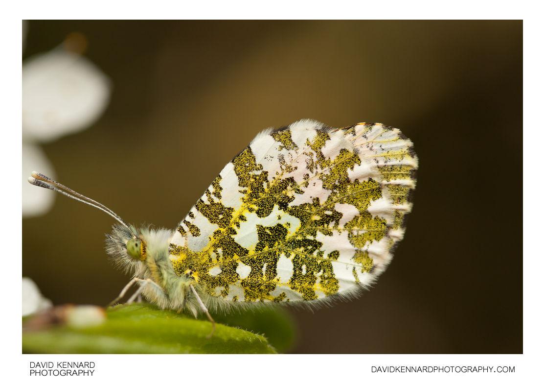 Male Orange Tip Butterfly (Anthocharis cardamines)
