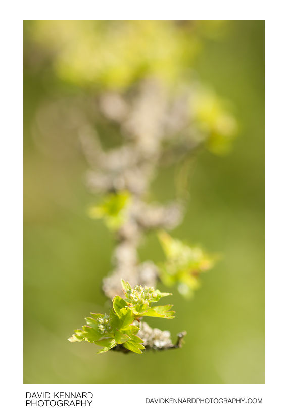 Hawthorn new spring leaves and flower buds