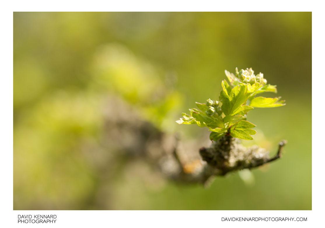 Hawthorn New Spring Leaves And Flower Buds V David Kennard
