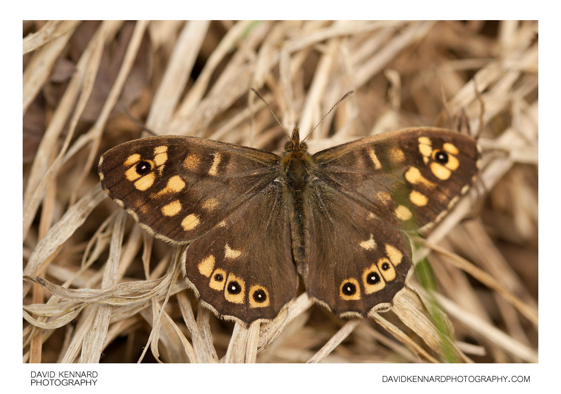 Speckled Wood butterfly (Pararge aegeria tircis)