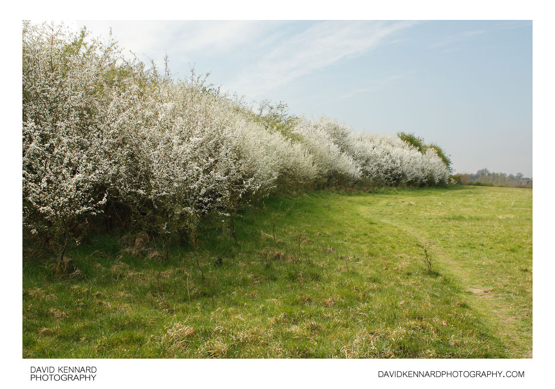 Blossoming blackthorn hedgerow