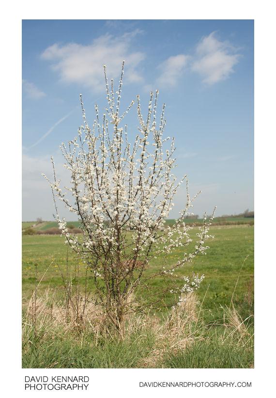 Blackthorn bush in flower