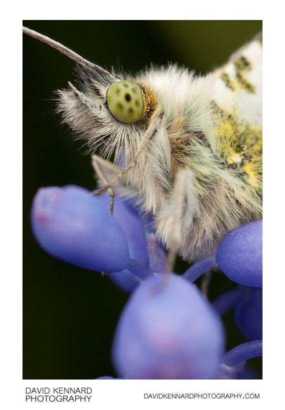 Male Orange Tip (Anthocharis cardamines) butterfly