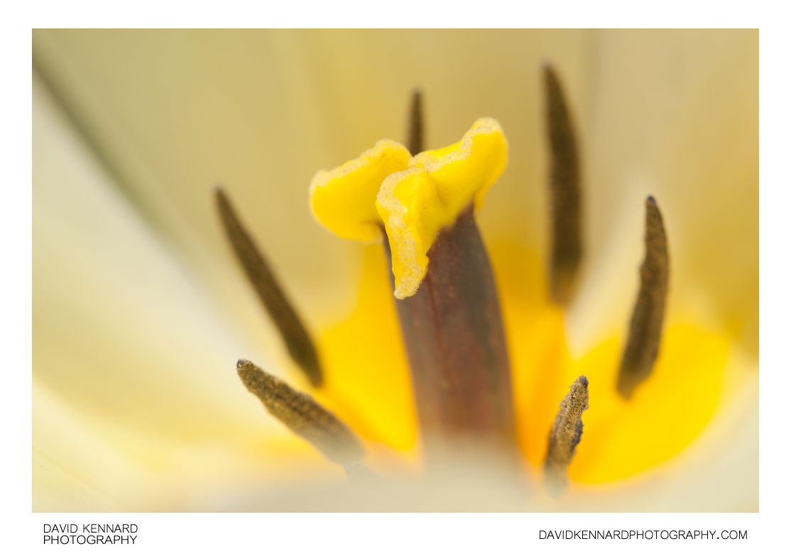White tulip flower stigma and stamens