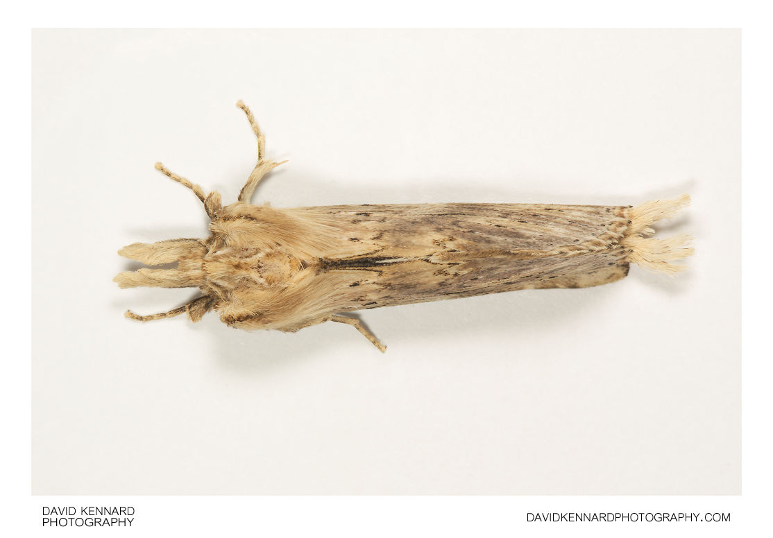 Pale Prominent moth (Pterostoma palpina) top view