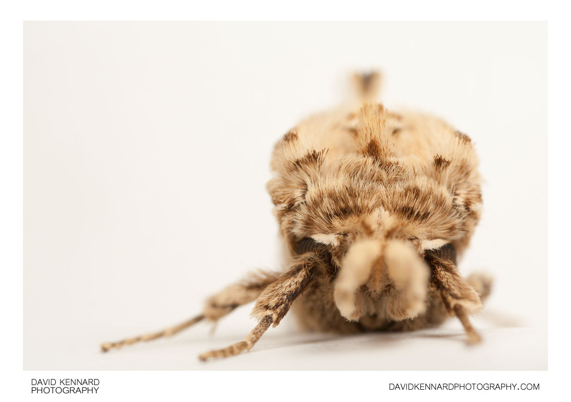 Pale Prominent moth (Pterostoma palpina) front view