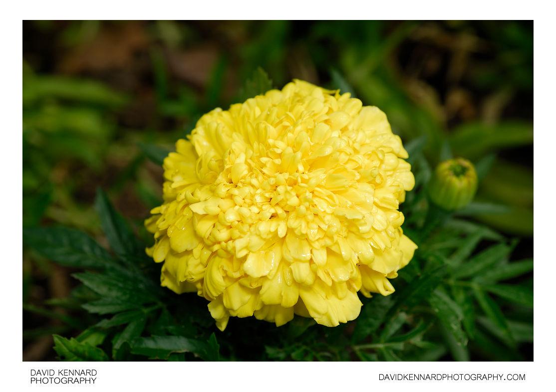 Yellow african marigold flower david kennard photography yellow african marigold flower mightylinksfo