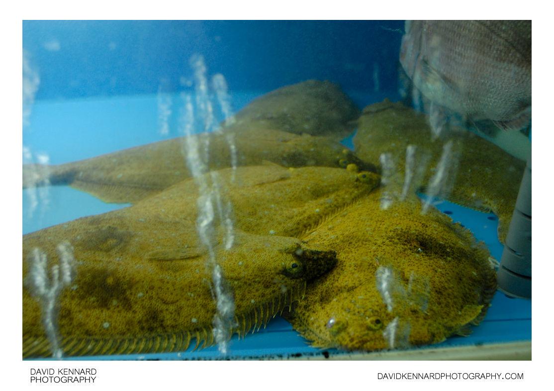 Korean flatfish in tank