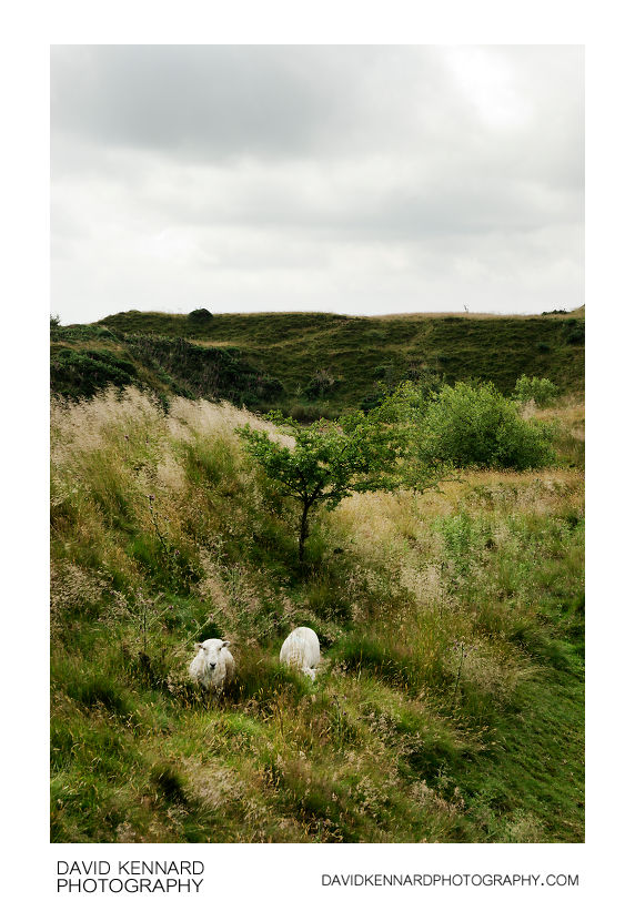 Sheep on Brown Clee Hill