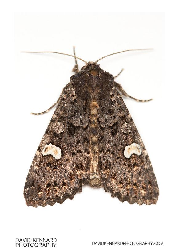 Dot Moth (Melanchra persicariae)