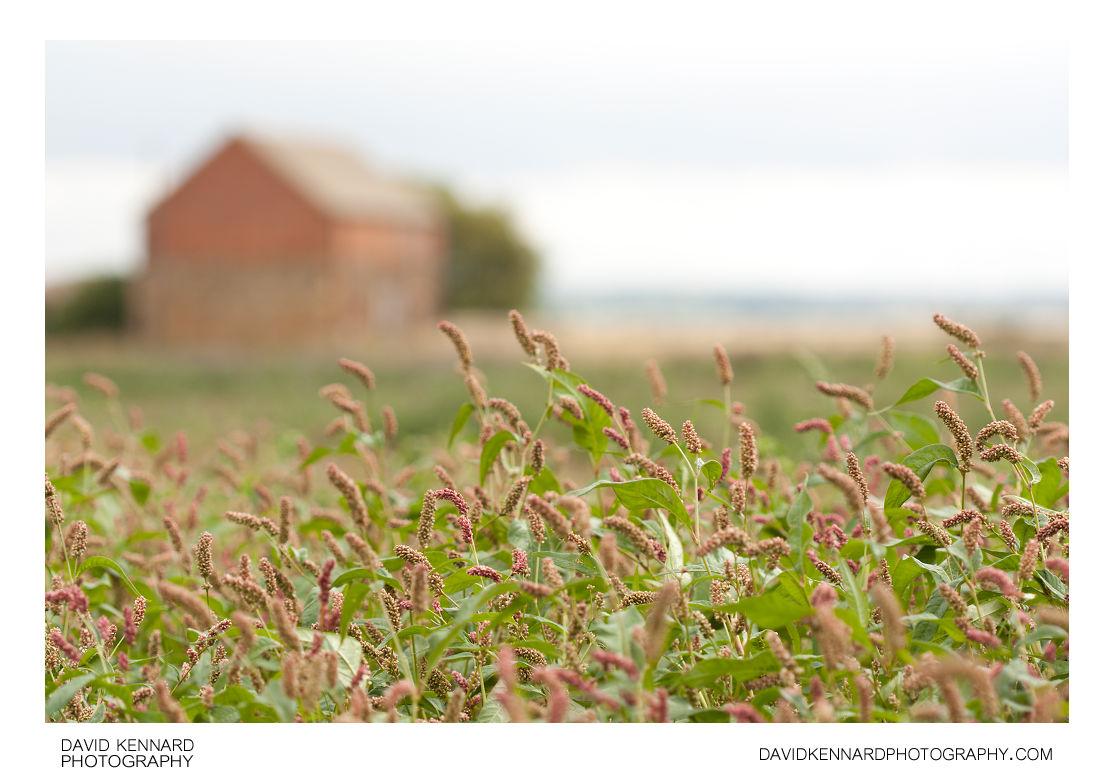 Redshank flowers
