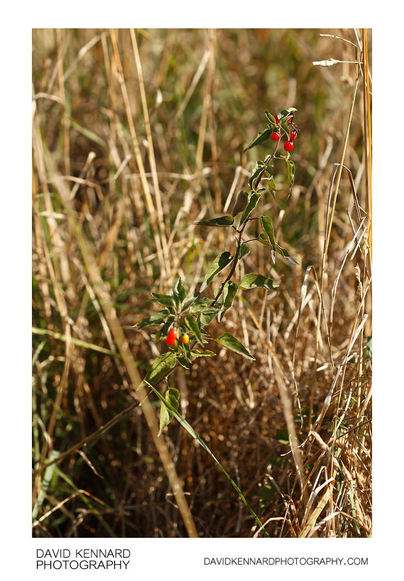 Woody nightshade (Solanum dulcamara)