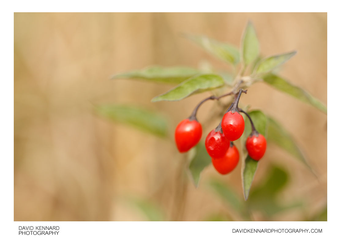 Woody nightshade (Solanum dulcamara) berries