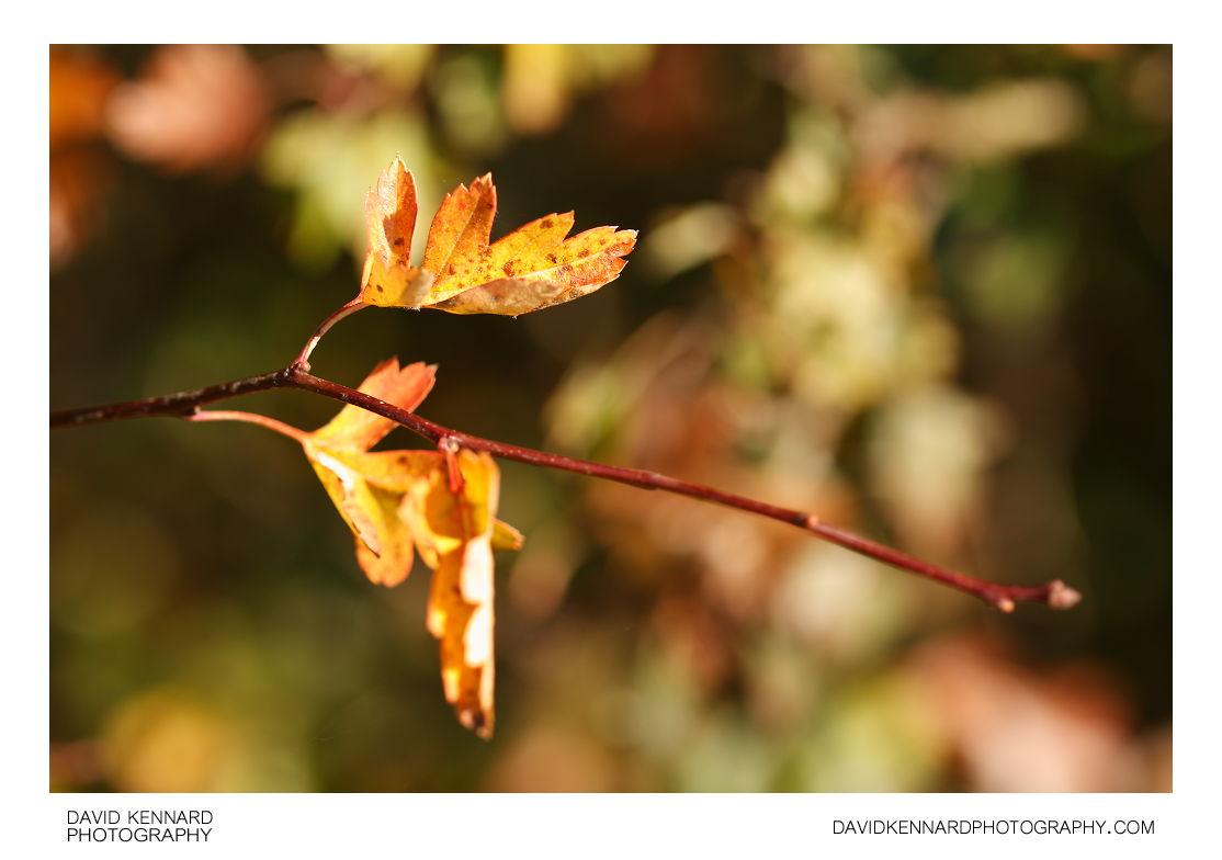 Autumn Hawthorn leaves
