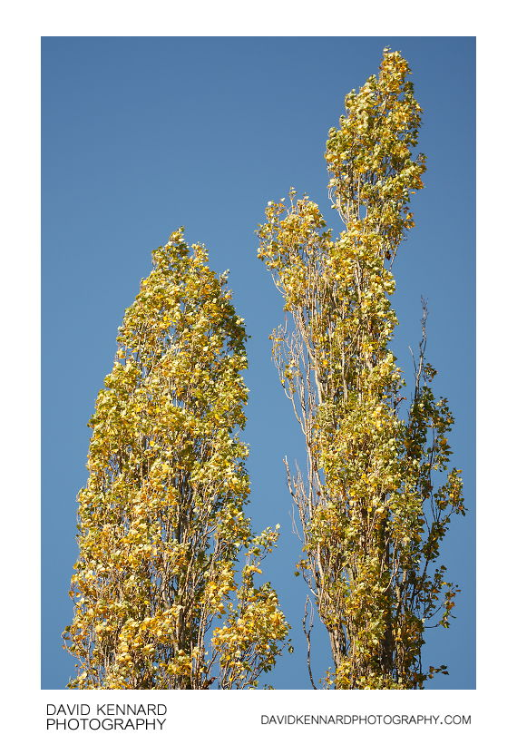 Lombardy Poplars in Autumn