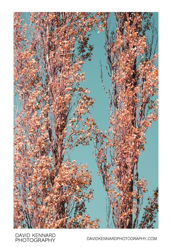 Lombardy Poplars false colour