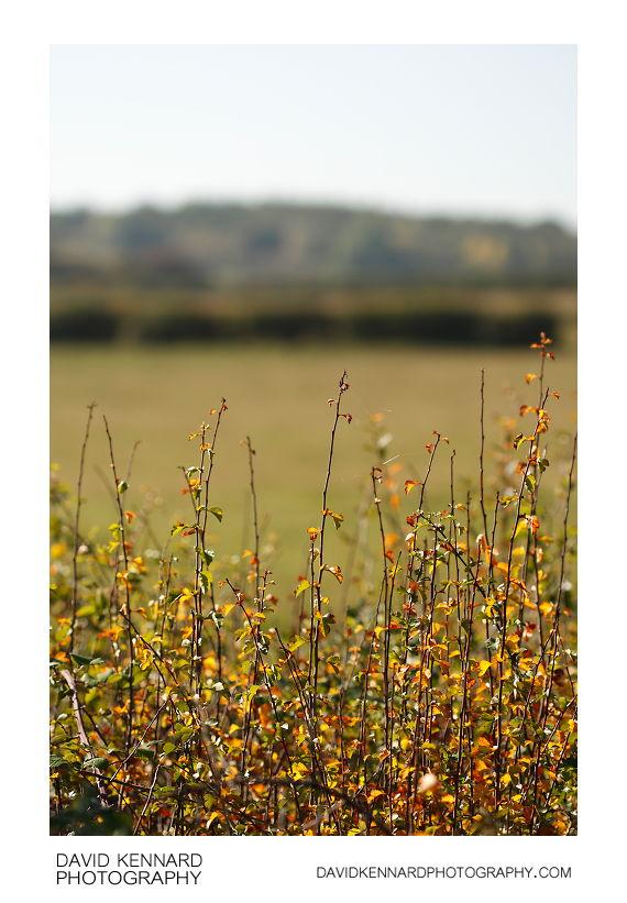 Hawthorn hedge in autumn