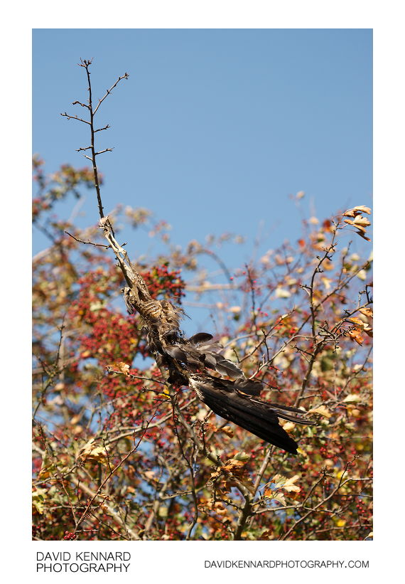 Dead corvid hanging from branch