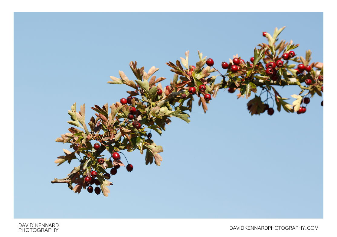 Hawthorn branch with haws
