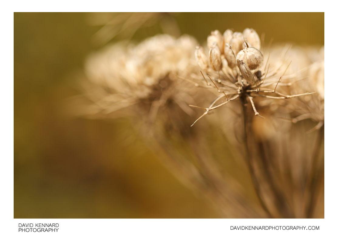 Common Hogweed (Heracleum sphondylium) seeds