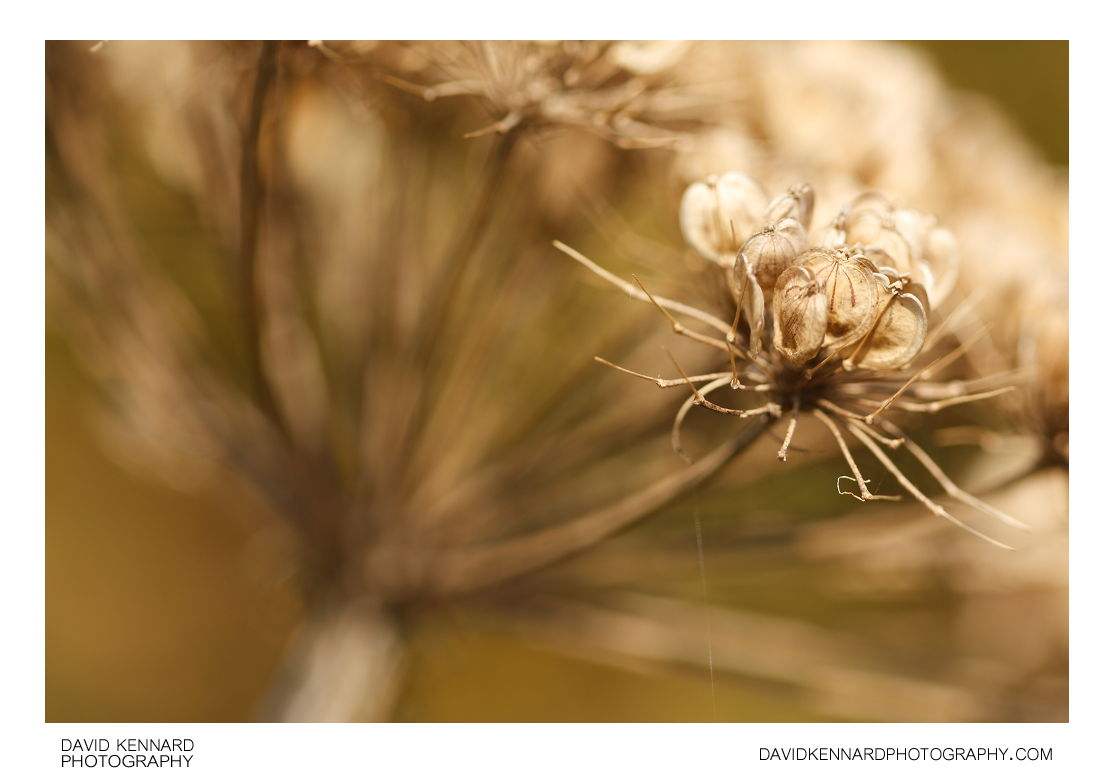 Common Hogweed (Heracleum sphondylium) seeds
