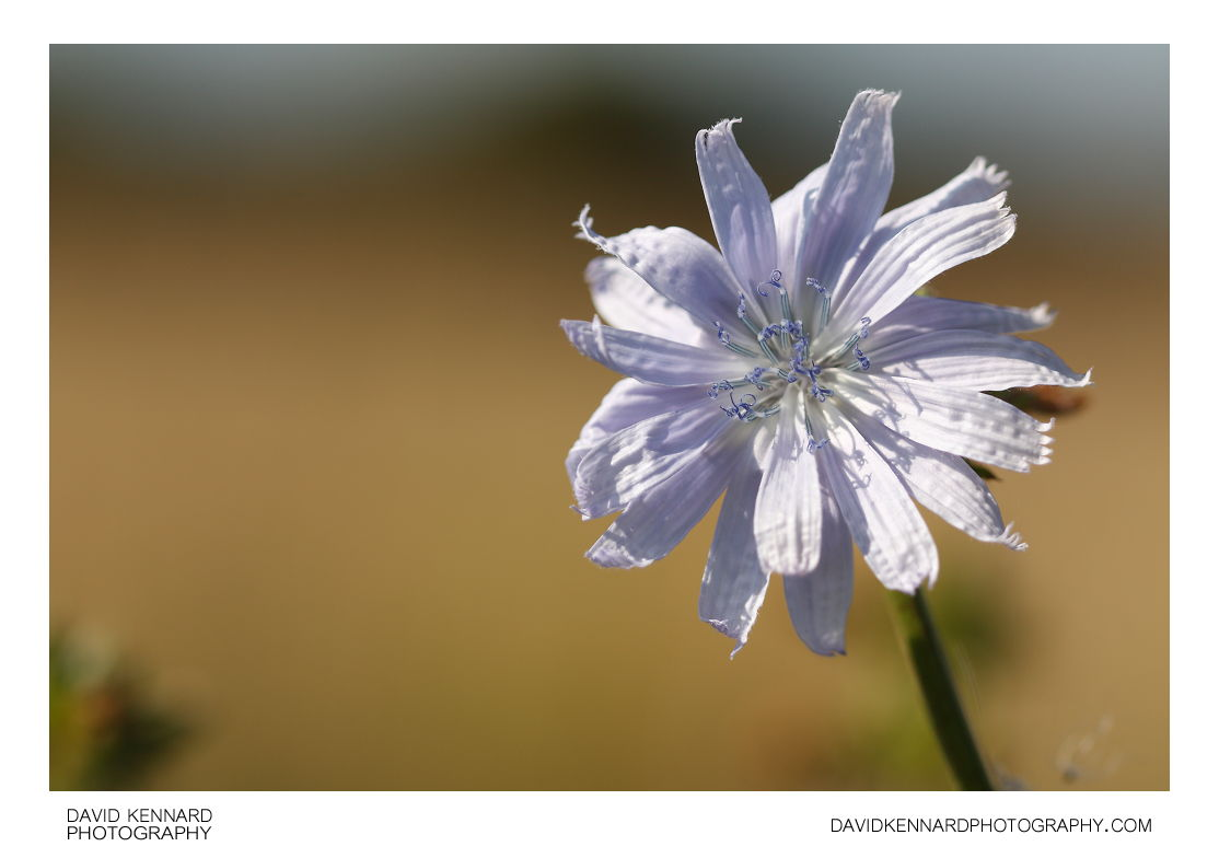 Common chicory (Cichorium intybus) flower