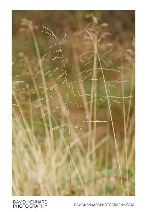 Tufted Hairgrass (Deschampsia cespitosa)