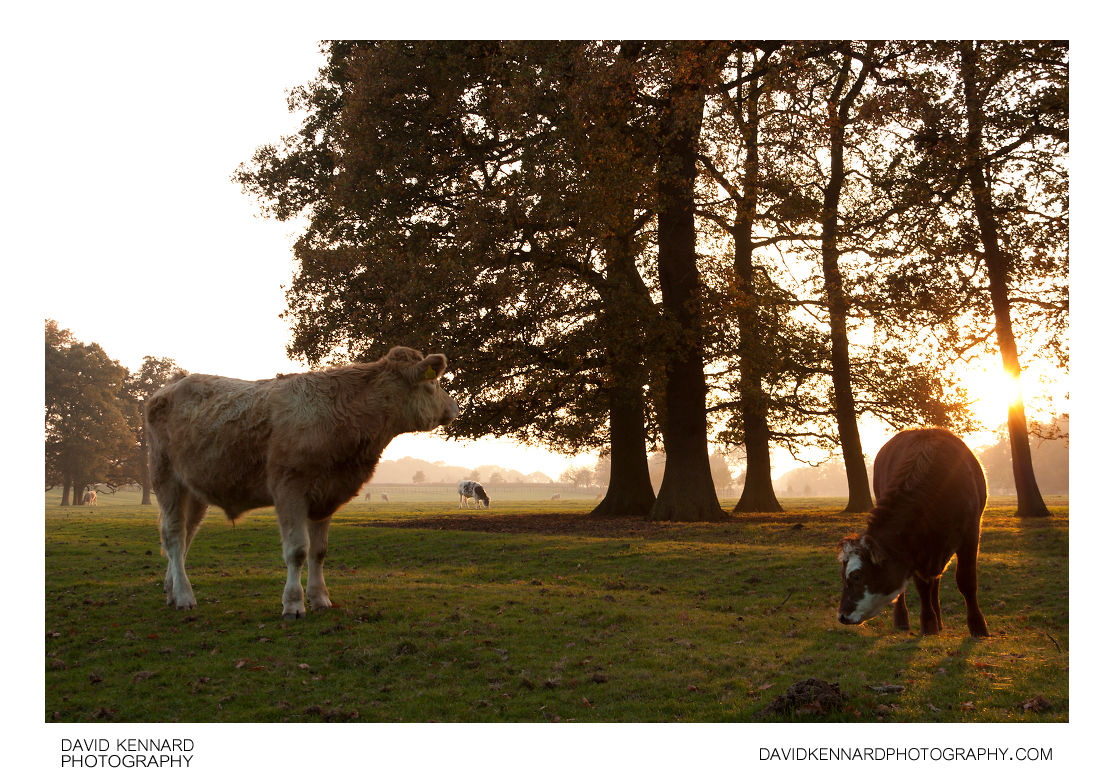 Cattle grazing by trees at sunset