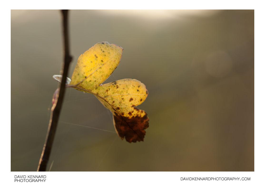 Yellow Hawthorn leaf in Autumn