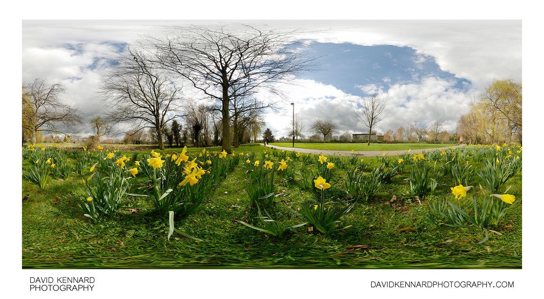 Daffodils in Welland Park, Harborough
