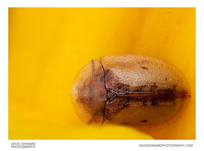 Cassida vibex Tortoise beetle