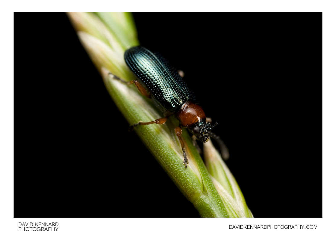 Oulema melanopus / rufocyanea Cereal Leaf Beetle