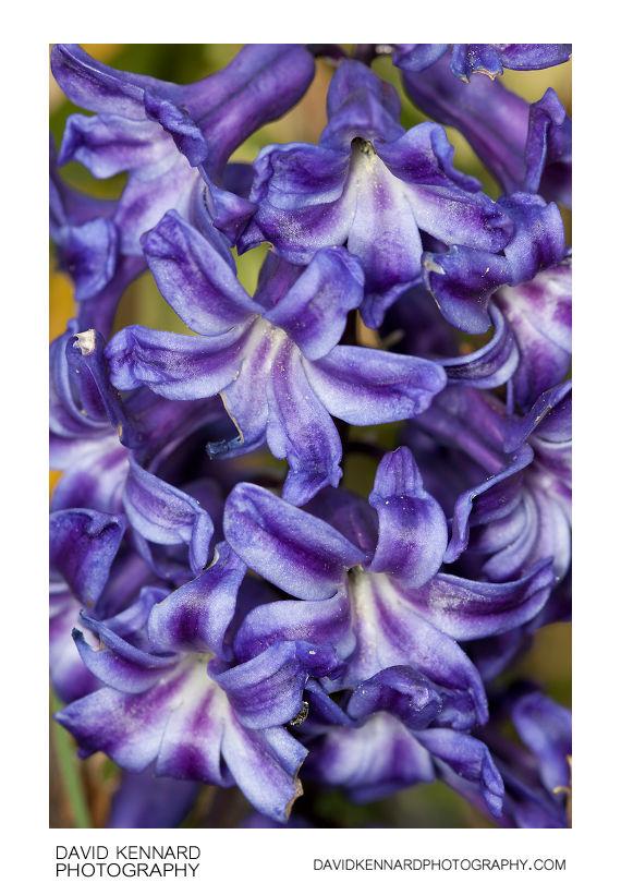 Hyacinthus orientalis (Common Hyacinth) purple flowers