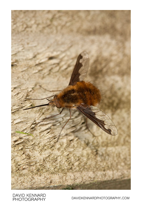Greater Bee Fly Bombylius major