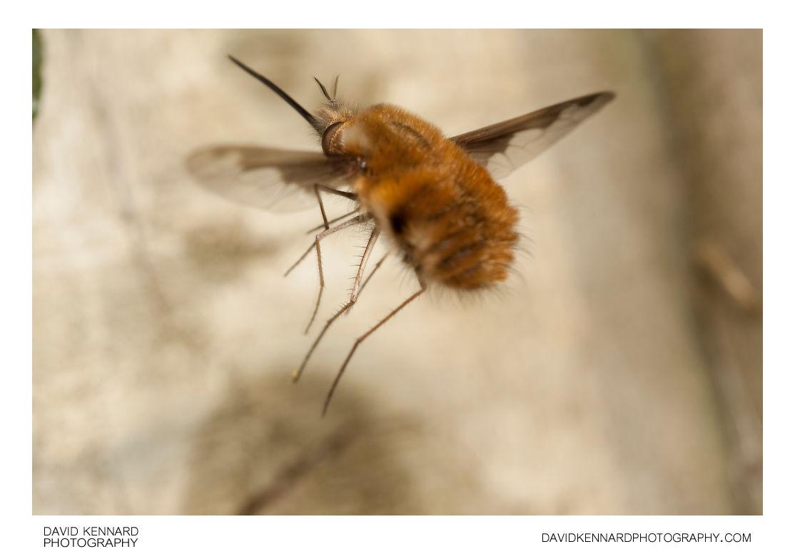 Greater Bee Fly Bombylius major in flight