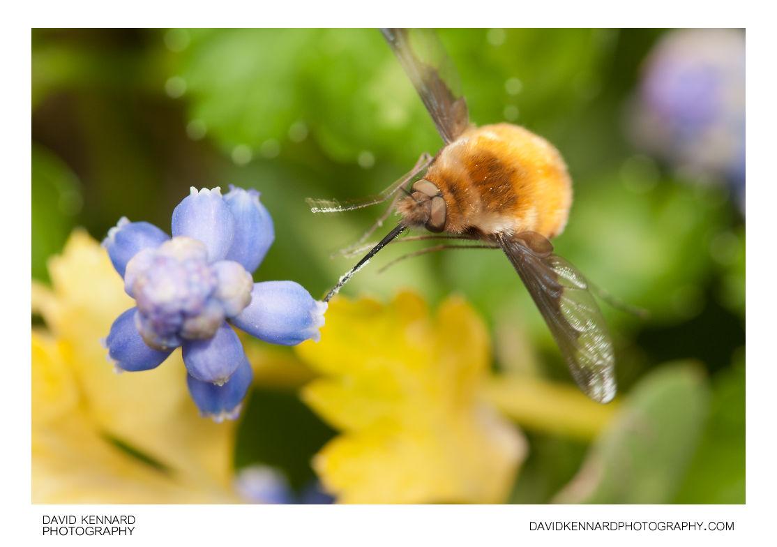 Greater Bee Fly (Bombylius major) feeding